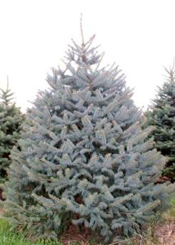 we grow majestic blue spruce which is a pyramidal shaped evergreen that exhibits steel blue to blue green foliage as a christmas tree it has the best